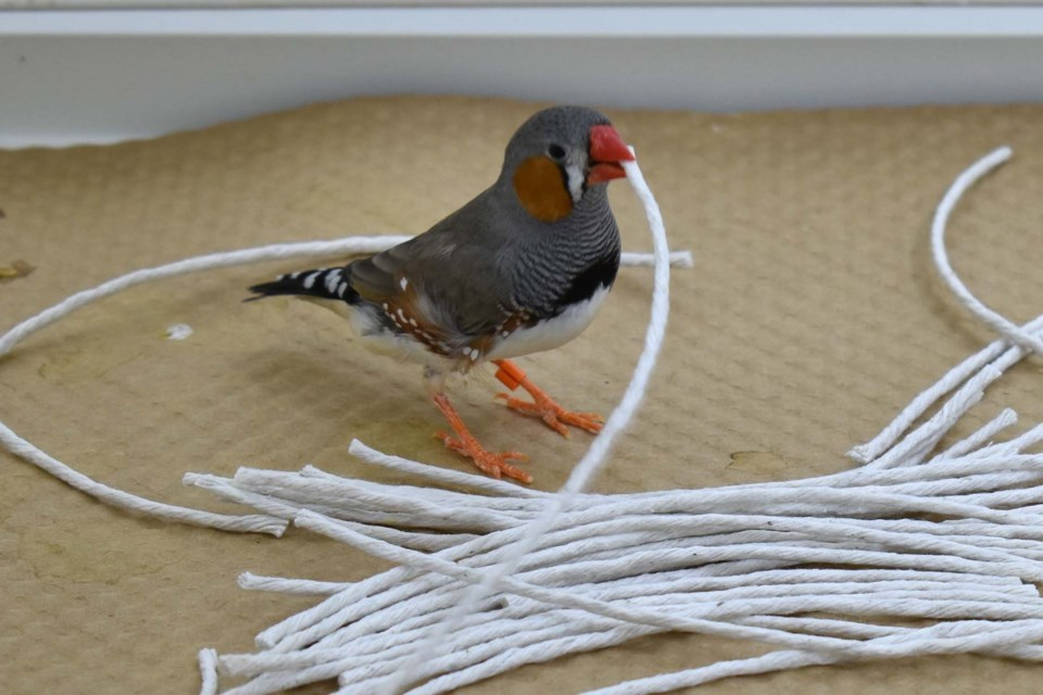"""DOES IT COME IN BLACK?"" — A zebra finch attempts to build a nest from string as part of a U of A experiment. The experiment found that birds appear to learn from experience when it comes to nest construction. ANDRES CAMACHO-ALPIZAR/Photo"