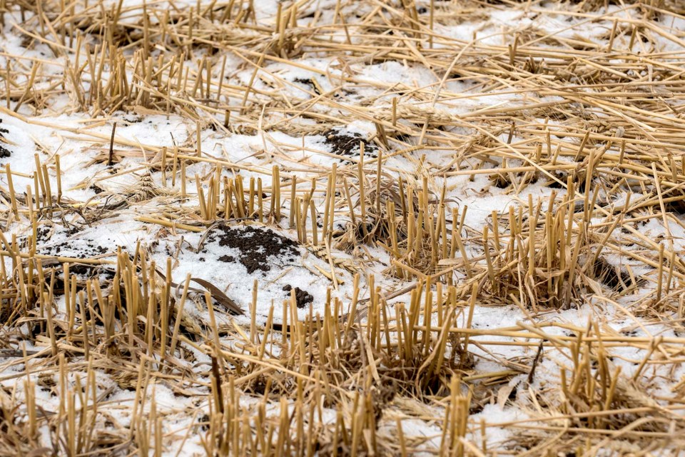 A skiff of snow covers a stubble field on a farm just east of St. Albert October 28, 2019. Most Sturgeon County farmers say they managed to collect their crops before this week's snow arrived. 