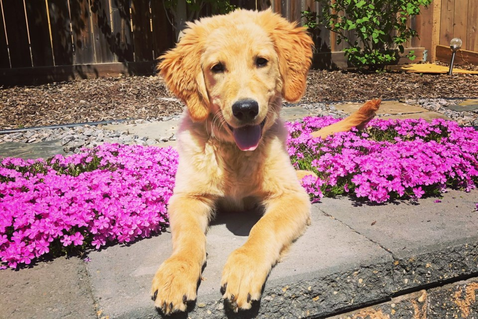 Wrigley, a five-month-old golden retriever, survived cannabis poisoning accidentally consumed while on a walk. CHELSEA MITCHELL/Photo