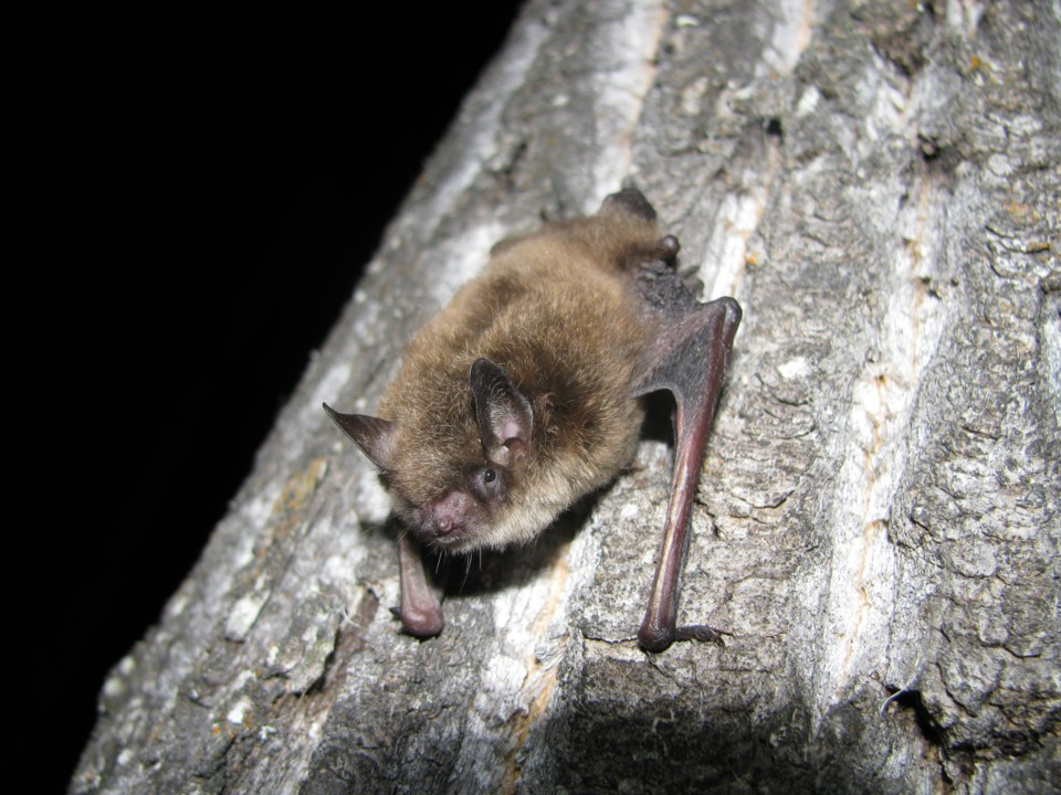 0806 EnviroFile Littlebrownbat1 sup