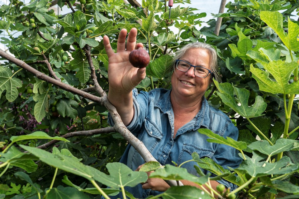 Tam Andersen, the owner of Prairie Gardens near Bon Accord, shows off a ripe fig from her greenhouse (which is the only source of locally grown figs in the province). Mid-August marks the return of Open Farm Days from Aug. 15 to 16 – with the option to spill over into an additional weekend if numbers are up. The event is tailored with COVID-safe activities including a