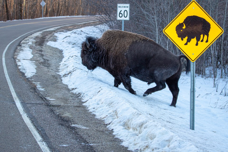 St. Albert photographer Tim Osborne captured a well-timed shot of a bison crossing the road next to a sign warning drivers of bison. TIM OSBORNE/Photo