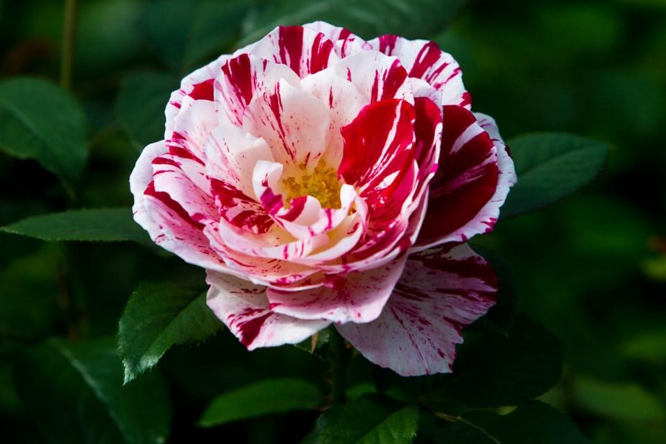 at home roses CC 4544