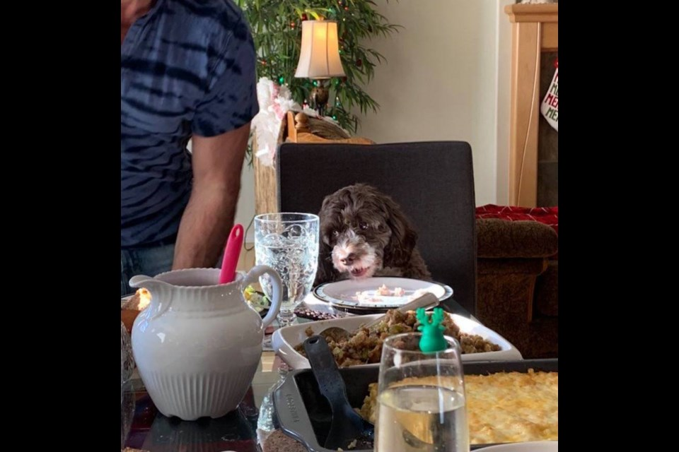 Mila, the chocolate Parti Cockapoo gets her own chair at the table for Christmas dinner. Photo supplied