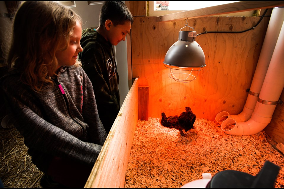 CUTE CHICKS — Morinville Public School students Sophia Mackay and Elliot Proctor, grade 3, visit two young chickens in the chicken coop in the school's new Learning Farm, which officially opened last Thursday. The school hopes to use the chickens to enhance student lessons. DAN RIEDLHUBER/St. Albert Gazette