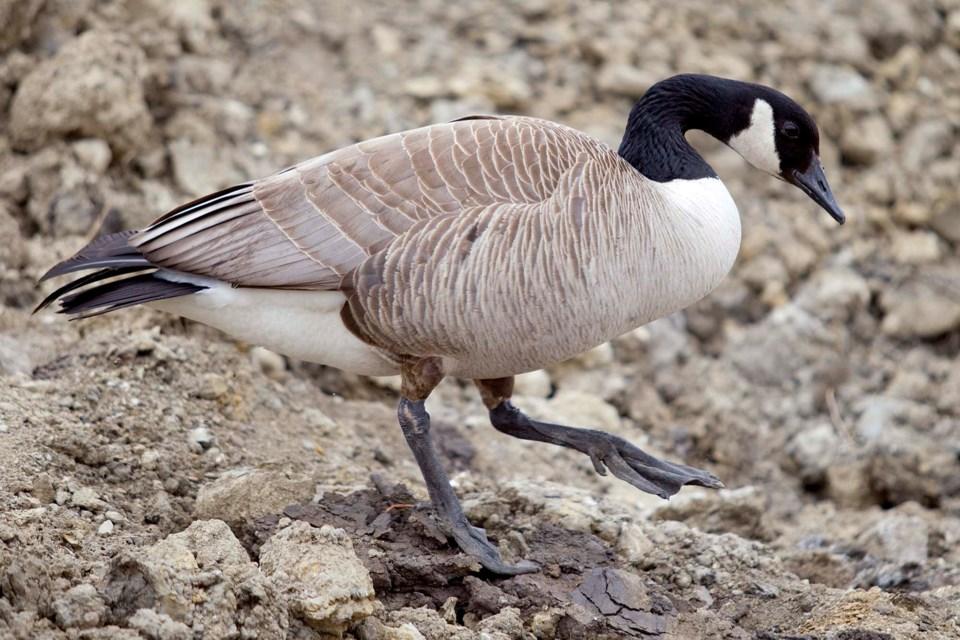 lone Goose-8391-ab
