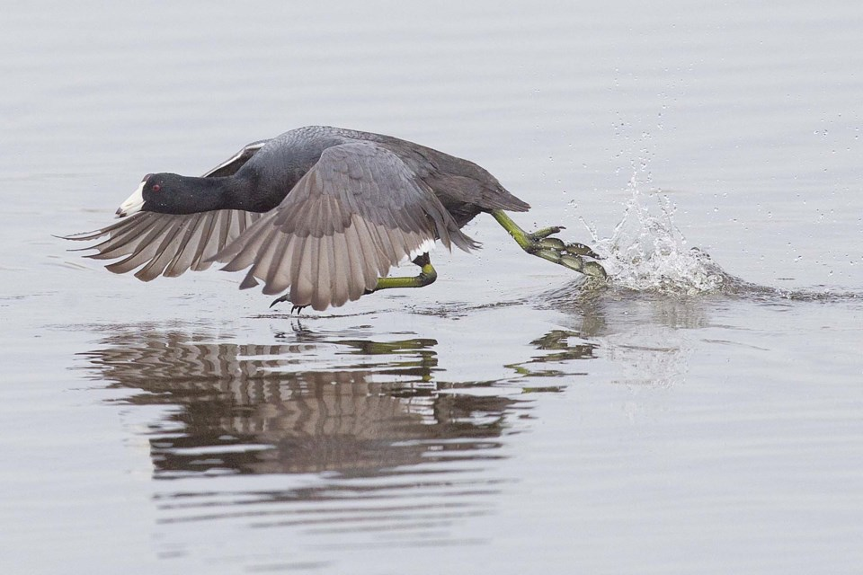 american coot running on water-CC- C 6064