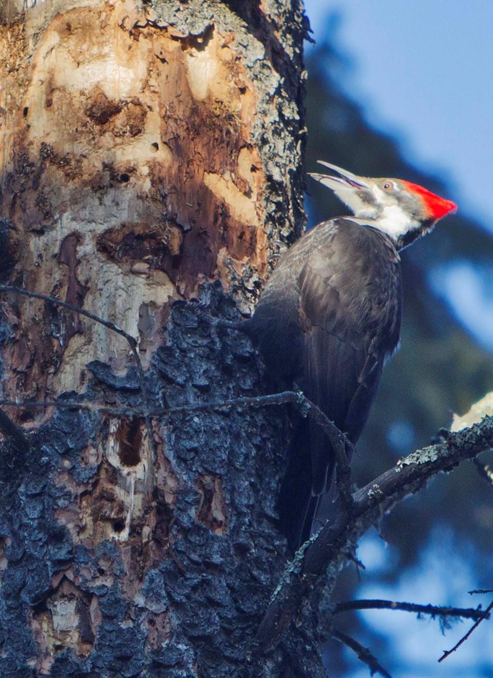 Pileated Woodpecker-CC-7665