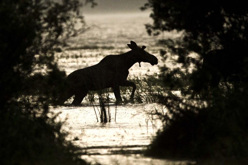 Moose cool down-AB-8811 CC