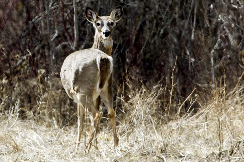 Deer-AB-2386