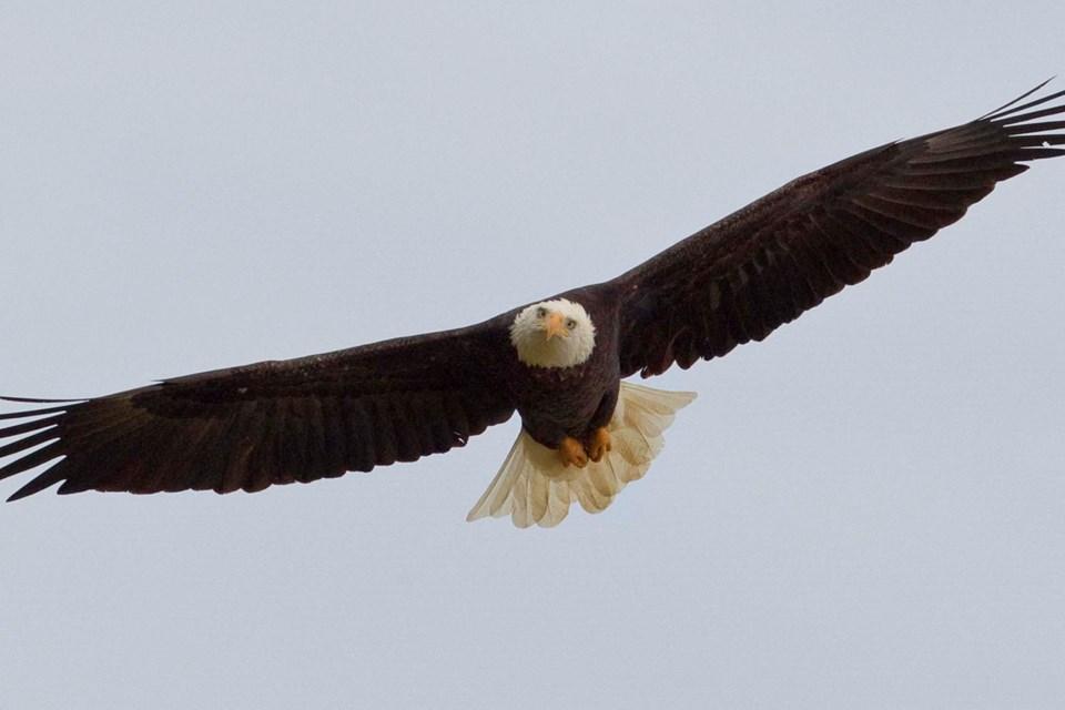 bald eagle-CC-2096 CC