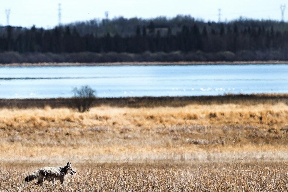 SA coyote BY 1219