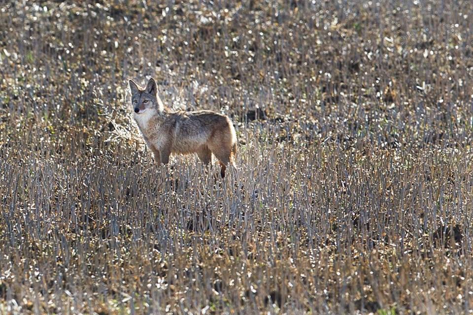 SA coyote BY 6645 CC