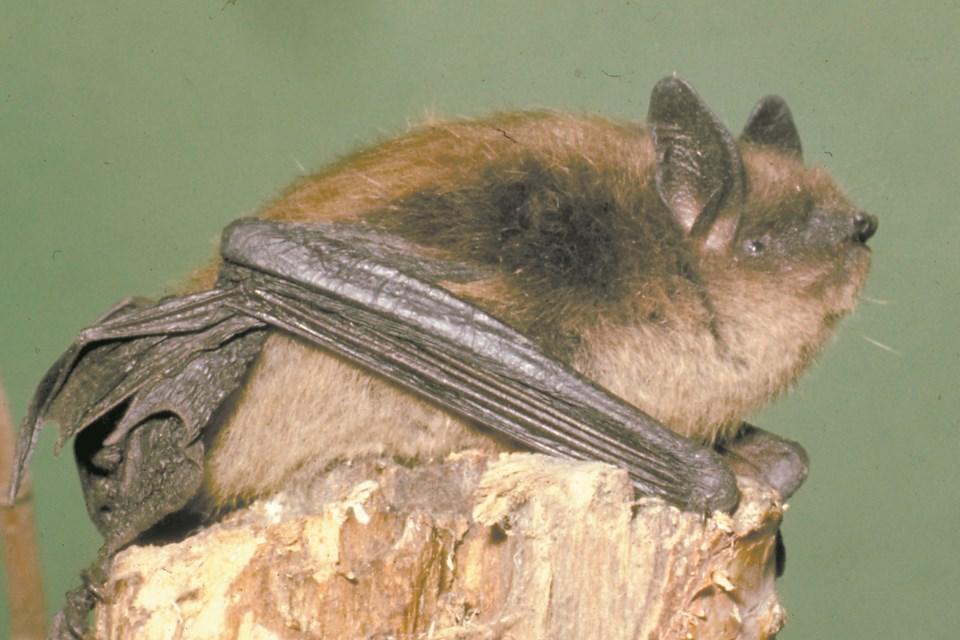 wild st. albert-little brown bat-sup-4790