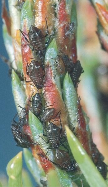 Cinara aphids