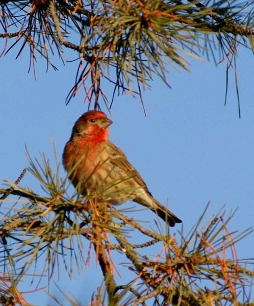 POPULATION RISE – The house finch is an introduced species that made its way to Alberta from the U.S.
