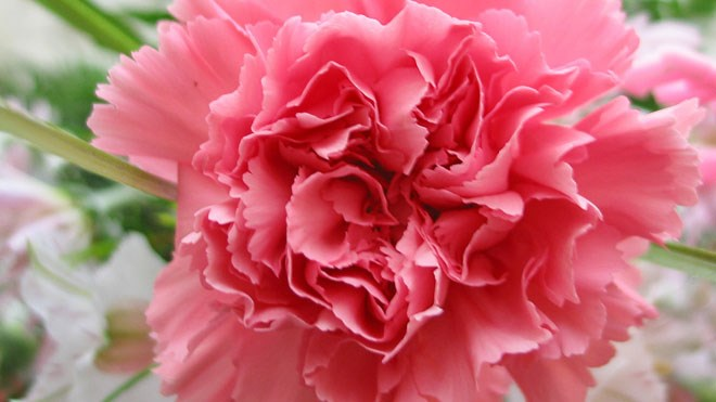 040516_carnations660