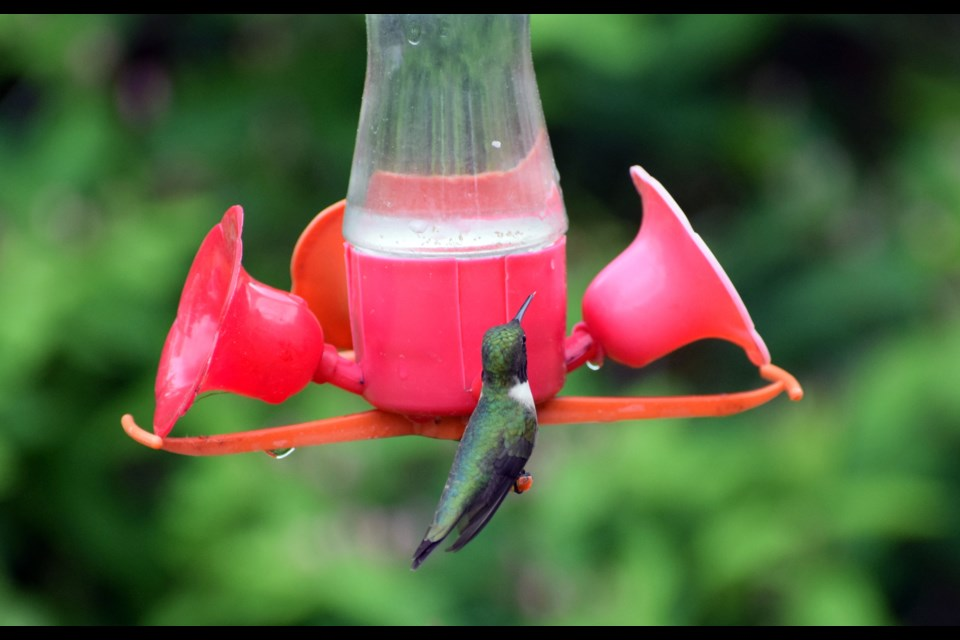 A ruby-throated hummingbird can't resist the sweet, sugary nectar contained in this feeder. (Chris Blomme)
