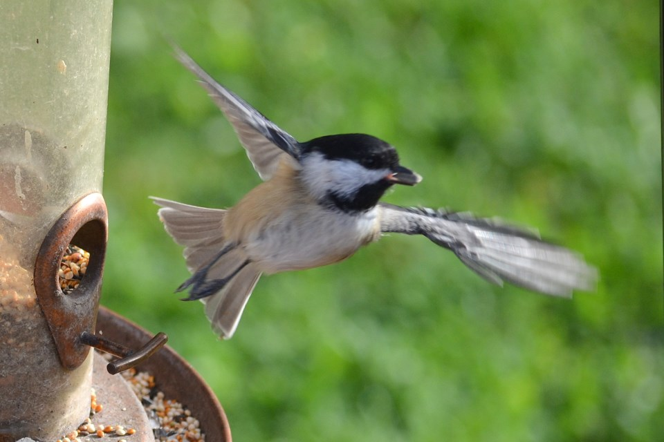 Conrad Felber shared this photo of a peckish chickadee taking flight with a tasty sunflower seed. Sudbury.com welcomes submissions of local photograph for publication. Send them through using the link on the homepage or by email to editor@sudbury.com.