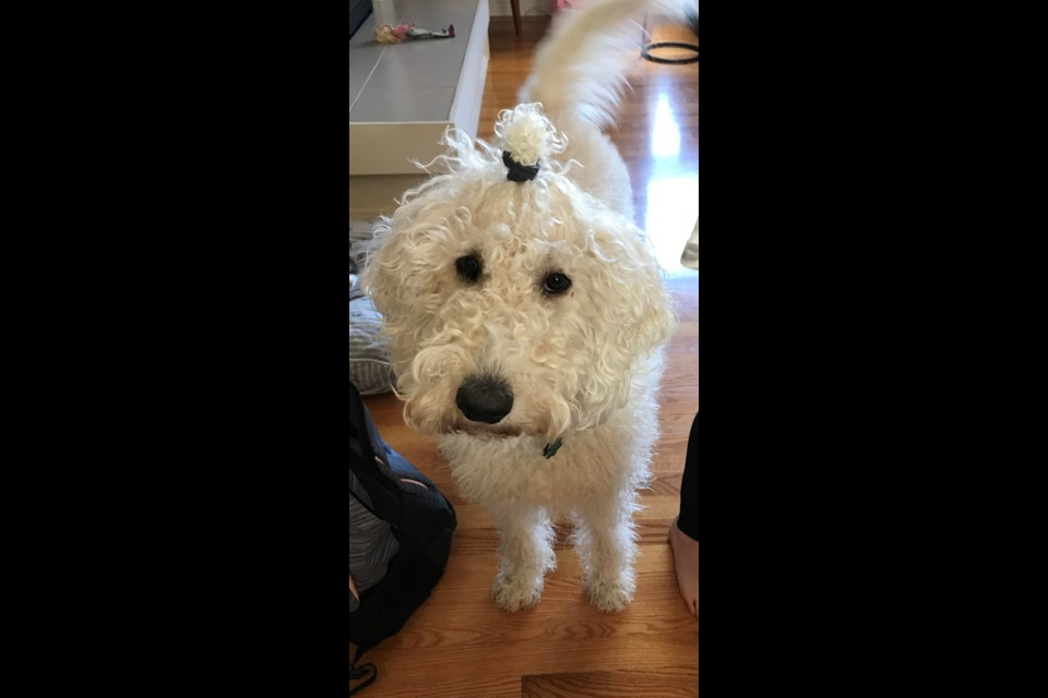 Melissa Little sent us this darling pic of her dog Lucy, who is sporting a hair elastic these days because she really needs a haircut. (Supplied/Melissa Little)