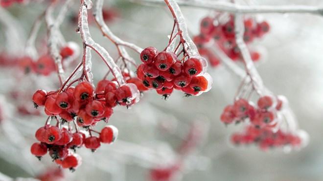 011116_frozen_berries