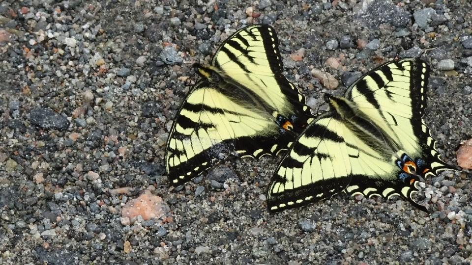 040821_Linda-Derkacz-swallowtail-butterflies