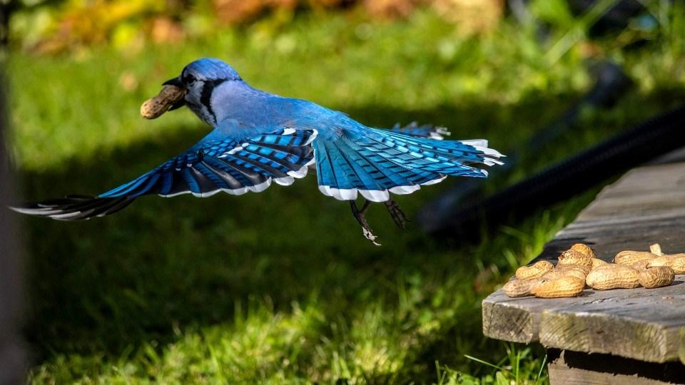 041021_leo-duquette-bluejay crop