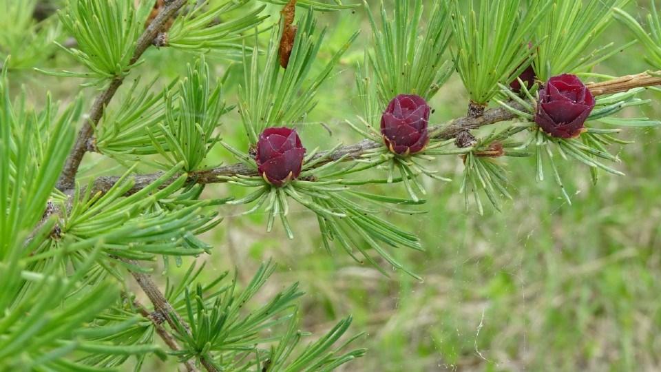 070921_linda-derkacz-tamarak-cones-like-rosebuds crop
