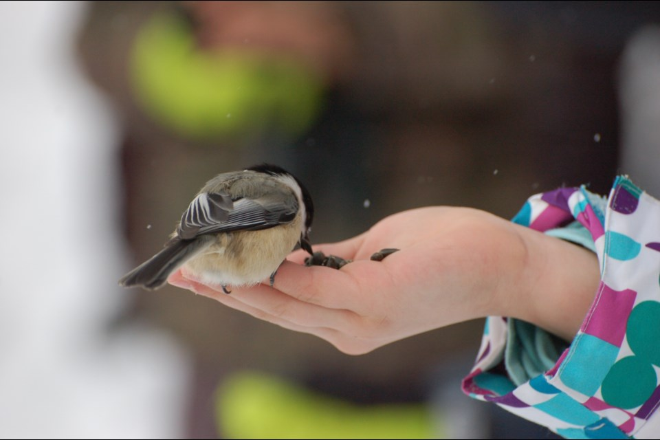 Chickadees are the most common bird species in the Lake Laurentian Conservation Area during the winter. Children got to feed the birds during the annual Christmas Bird Counts for Kids Saturday morning. Photo by Randy Moratz.