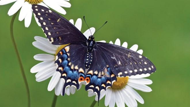 080817_butterfly_daisy