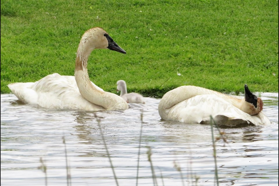 """Bigfoot and Partner — trumpeter swans that call Fielding Park home — are proud new parents to """"Puff."""" (Maralea Mushumaksi photo)"""
