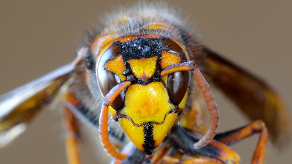 Closeup of the handsome face of an Asian giant hornet. (Image: Adobe Stock)