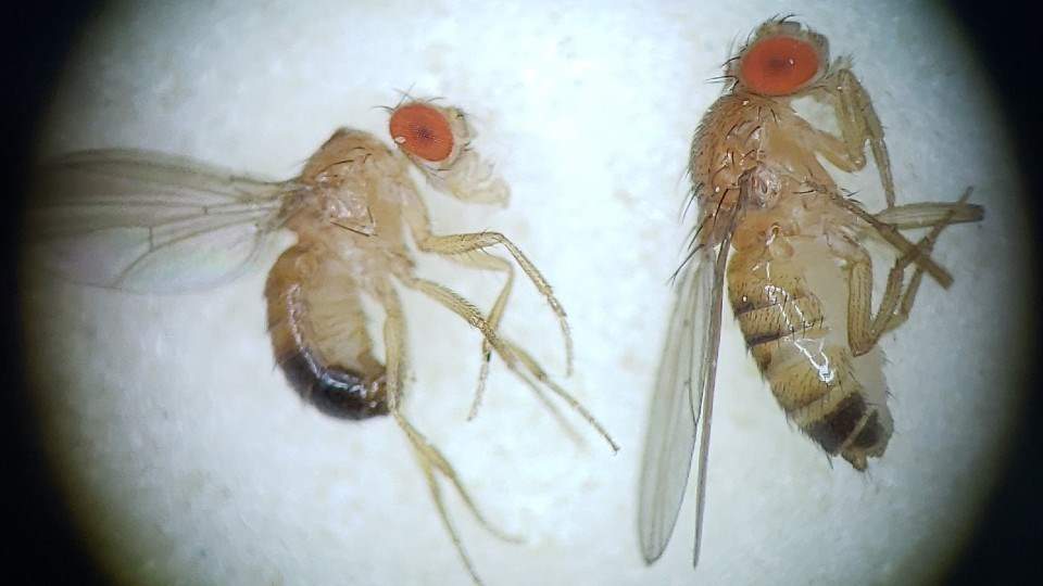 The simpler genome of Drosophila melanogaster — a.k.a. the fruit fly — can help us understand how proteins work and how amino acid variation leads to changes in protein function. This can go a long way to helping us build better, more effective vaccines. (Supplied: Thomas Merritt)