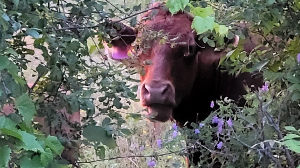 190721_lonny-wright-moose-cow-tongue-out-crop (used)