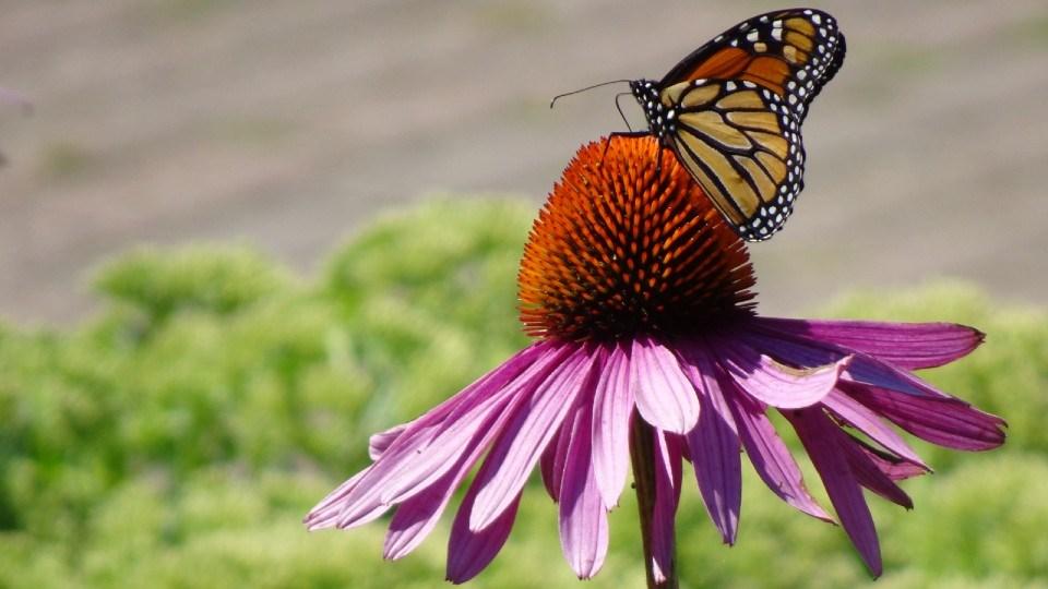 190821_linda-derkacz-butterfly echinacea