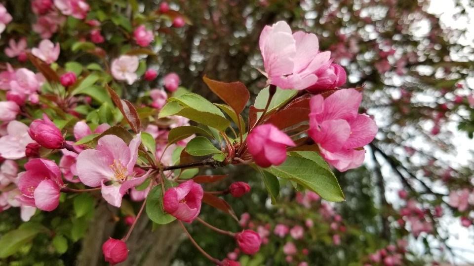 Lovely flowering crabapple tree.