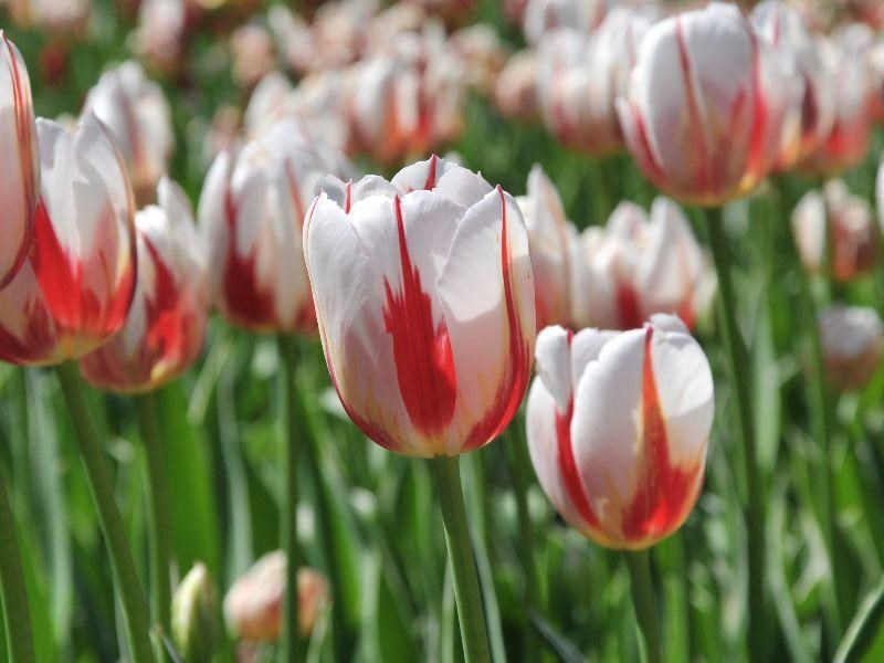 The Canadian tulip was created in a partnership between the Kingdom of the Netherlands, the National Capital Commission in Ottawa, Communities in Bloom and Home Hardware to honour Canada's 150th birthday in 2017. Photo: National Capital Commission