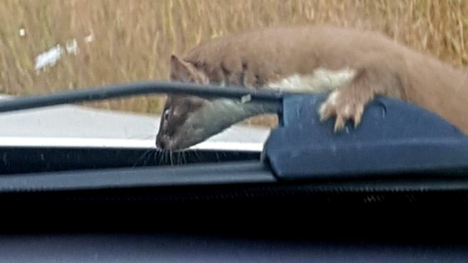 Once she managed to pull over, Christina Sitko said the animal looked around for a few seconds to get its bearings (and giving her a chance to shoot a few photos), then hopped off her hood and headed into the bush. (Christina Sitko)