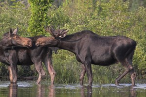 Opinion: Ontario's moose population is falling and I have pretty good idea why
