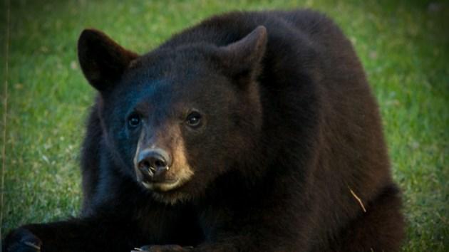 Group of black bears visit backyard in Azilda - Sudbury.com