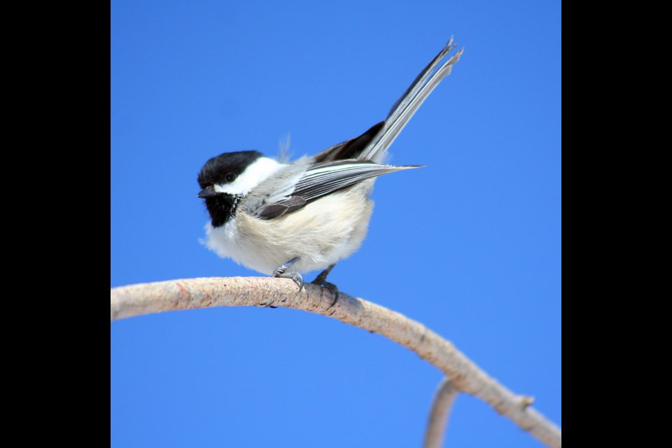Birds that will use nest boxes in this area include the black-capped chickadee (pictured) and the rare house wren. Some people have luck with attracting chickadees to their nesting boxes as the holes are small and the surfaces fairly protective. (Supplied)