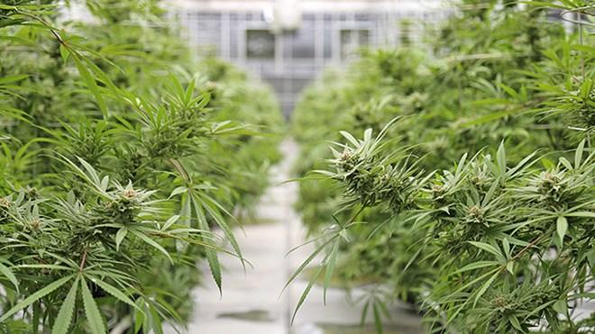 090619_KF_cannabis_production_sized