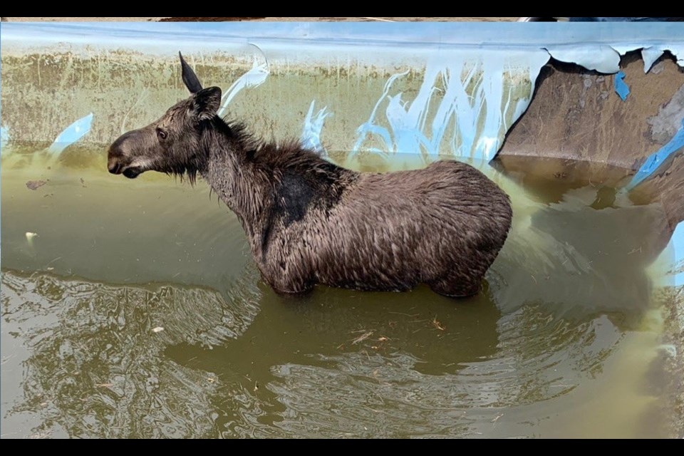 Greater Sudbury Fire Services helped rescue a moose that was trapped in a pool in the Garson area Monday. (Jesse Oshell/Twitter)