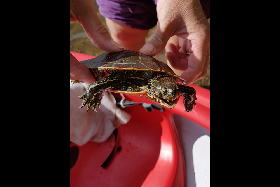 The hook left the turtle's jaws unable to close. (Gary Rinne, tbnewswatch.com).