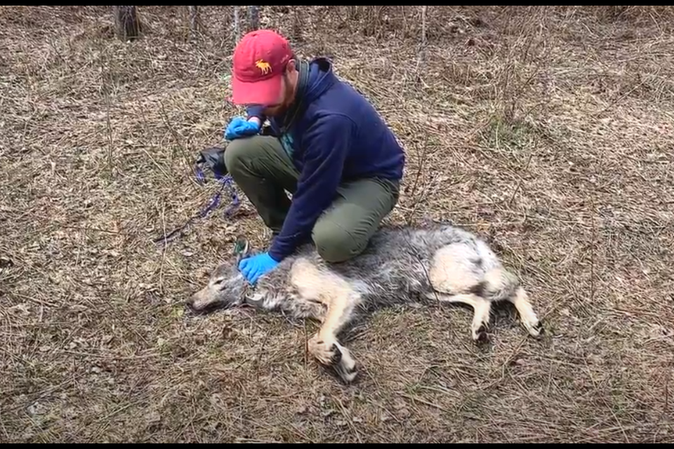 Researchers with the Voyageurs Wolf Project attached camera collars to two wolves in 2020. This wolf was sedated, but released shortly after (courtesy Voyageurs Wolf Project)