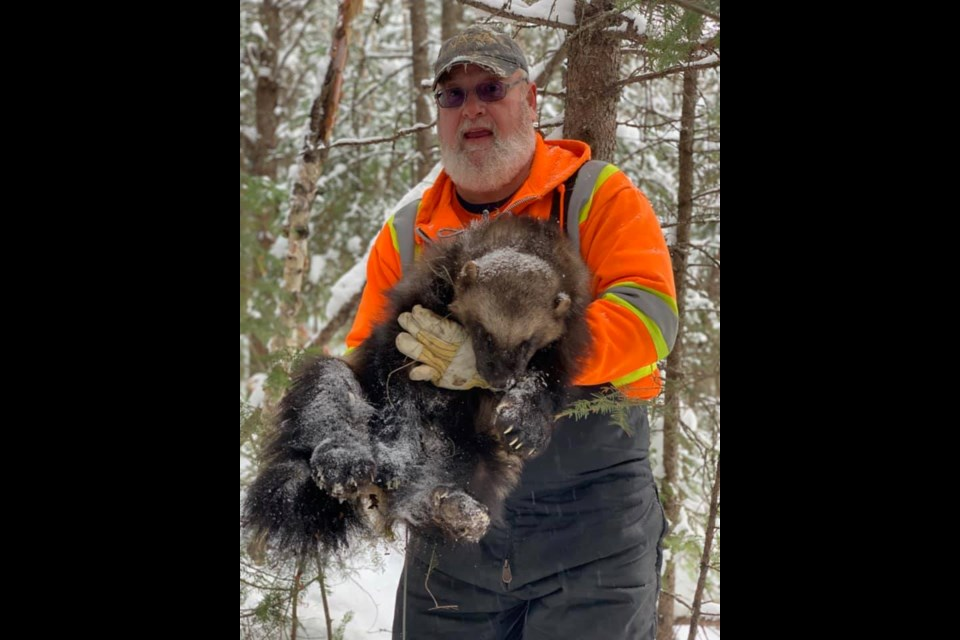 Dryden-area resident Randy Turgeon found a rare wolverine on his trapline northeast of Dryden. (submitted photo)