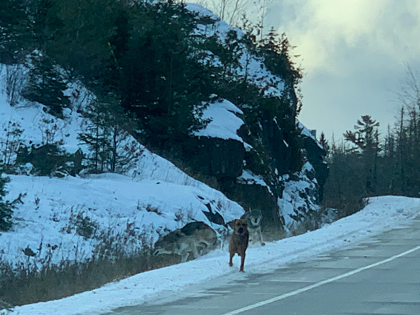 Two wolves–seen just behind the dog in this photo – abandoned their pursuit of it on Highway 71 after Northern Development Minister Greg Rickford and staff member Ferg Devins happened by (Ferg Devins photo)