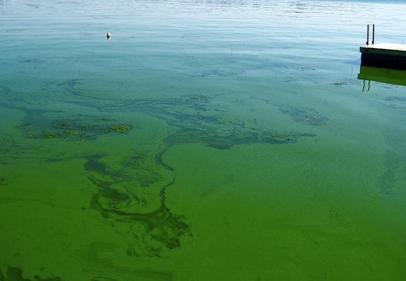 blue-green algae July 2020