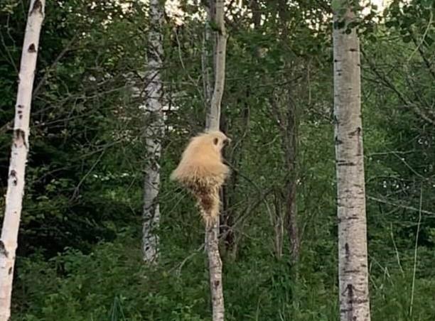 porcupine edited (2)