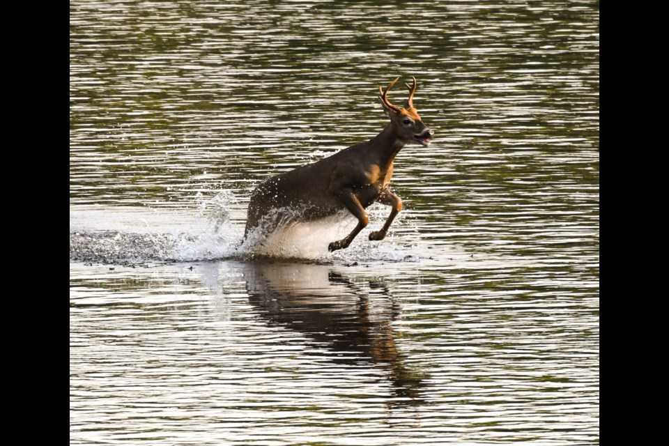This deer swam and ran for its life on the Kam River near Stanley on Sept. 18, 2021 (Facebook/Lesley Johnson)